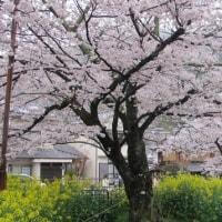 桜の桃源郷