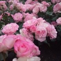 スマホケースと満開のバラ