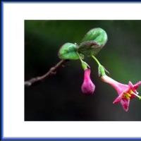 鶯神楽の花
