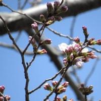 桜・さくら・サクラ 咲く