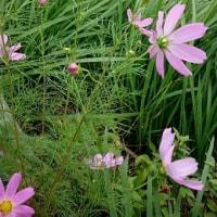 庭の花が知らぬ間に咲いてました