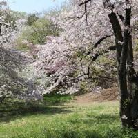 桜の競演・大高緑地 P5