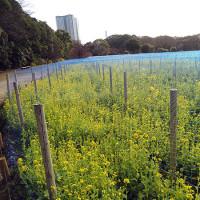 浜離宮恩賜庭園の「菜の花」