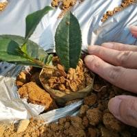 お茶の木の植え替え!