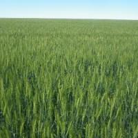 麦畑の季節