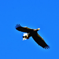 今日の鳥見12/2 湖北のオオワシ