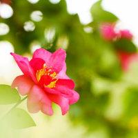 山茶花 (花 4190)