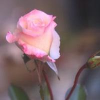 まだまだ咲いてるよ~我が家のバラ