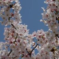 桜やっと満開です。