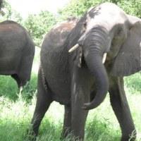 怒る象(ボツワナ・チョベ国立公園)