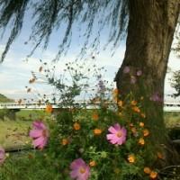 秋桜見にきてくださいね。(=^0^=)