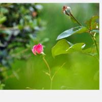 平成28年10月20日(木)の父の薔薇