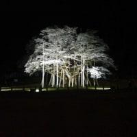 日本一の桜   樽見の淡墨桜、または三春の滝桜