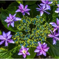 今頃は紫陽花が見どころ