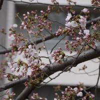 桜の花待ち遠しくて、糸田堤にて