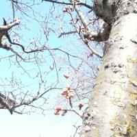 梅も桜もまだまだ・・・もうすぐ高山まつりなのに・・・