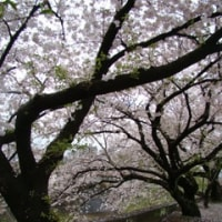 桜、満開 ♪