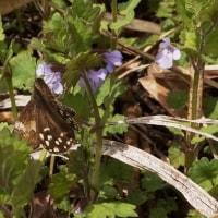 カキドオシ に ミヤマセセリ(♀)