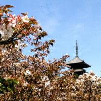仁和寺のサクラ