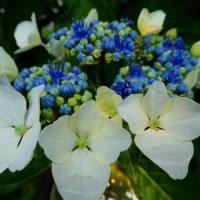 『紫陽花』 雨静か