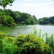 真夏の日差しになった善福寺公園です その1