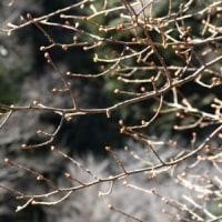 ナツグミの枝にたくさんの芽