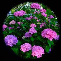 旱に咲く紫陽花(2)