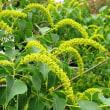 <ナンキンハゼ(南京黄櫨)> 長く黄色い花穂はミツバチなどの蜜源に