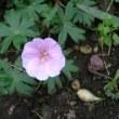 ロリーホップ、フウロウ草、薔薇咲きアッツ桜