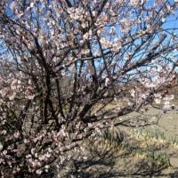 梅が咲く(終わり)