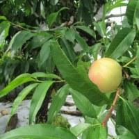 桃の収穫を始めました。