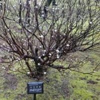 「三又・ミツマタ」の木