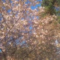 滞在型家庭菜園:季節外れの桜の開花