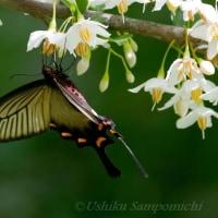 「エゴの花」で吸蜜する「ジャコウアゲハ」