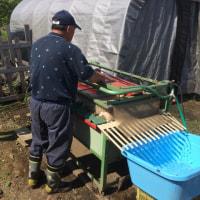大根収穫洗浄即売会に向けて準備