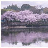 水辺公園の桜