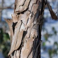 絡みつきタイプつる植物のサルナシ3
