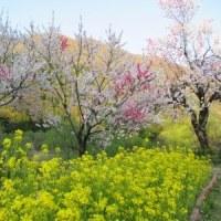 勝原の花桃公園