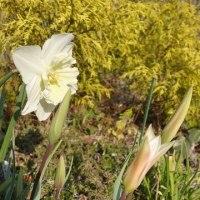 越後の雪椿&チューリップが咲きました・・・