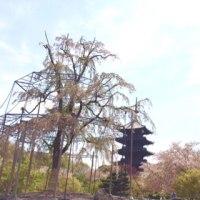 1週間後の東寺のしだれ桜