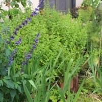 花咲くハーブ多年草