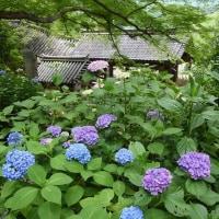 あじさい が見頃 (長谷寺) 奈良県桜井市 2017.06.18