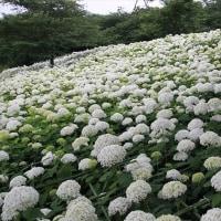 県営権現堂公園の紫陽花