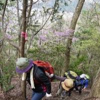 2017年4月16日 向山連山はヒカゲツツジが満開!