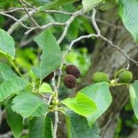 ヤシャブシとヤマモモの木の実も