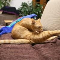 ムギ(おす猫)
