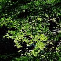 今治市の鈍川渓谷でも新緑が始まっています (その1)