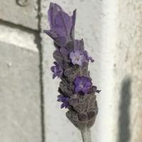 今日の我が家の花