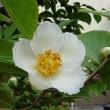 季節の花「夏椿(なつつばき)」