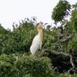 7/23探鳥記録写真(鞍手町:サギヤマ模様:アマサギ、ホシゴイ、ゴイサギほか)